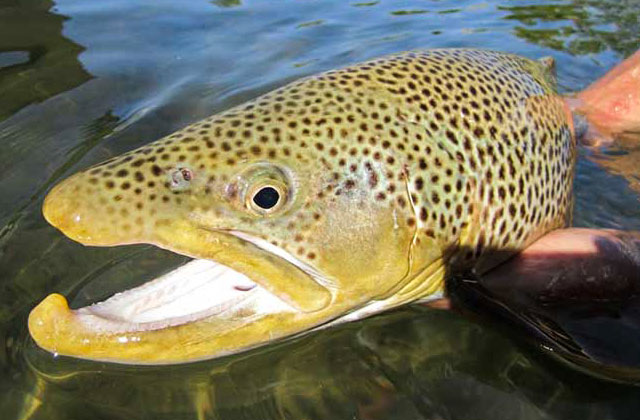 Clark Fork Brown Trout